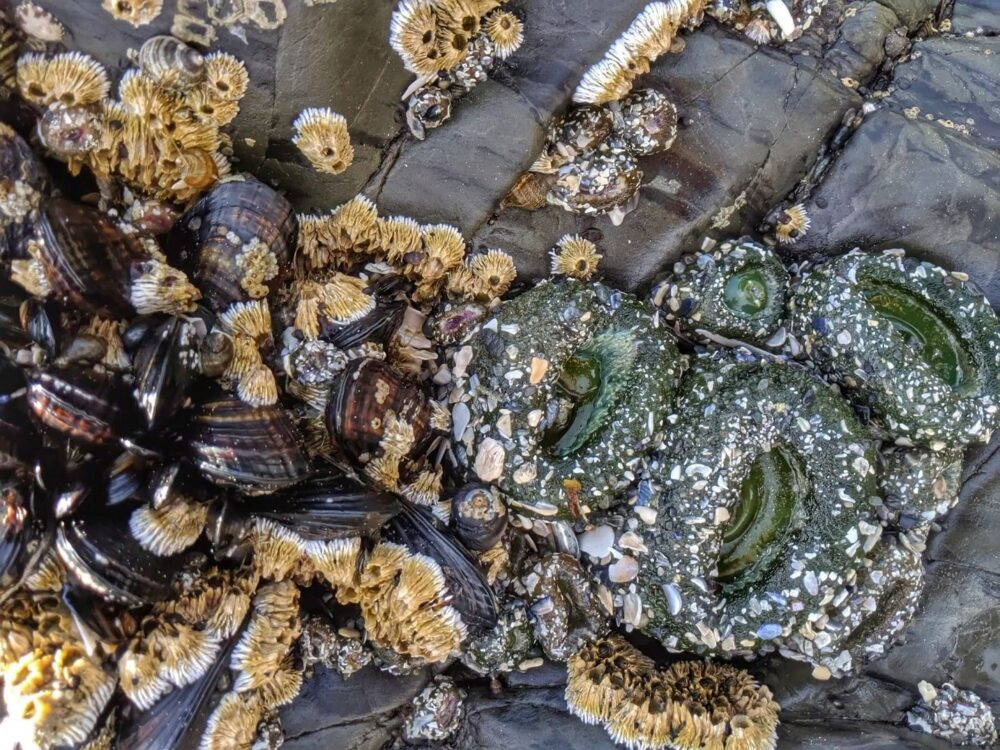 Close up of mussels and anemones on rock, Tofino coastline