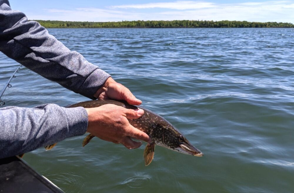 Adam from Angling Algoma returning a northern pike to the water on a Lake Huron fishing charter