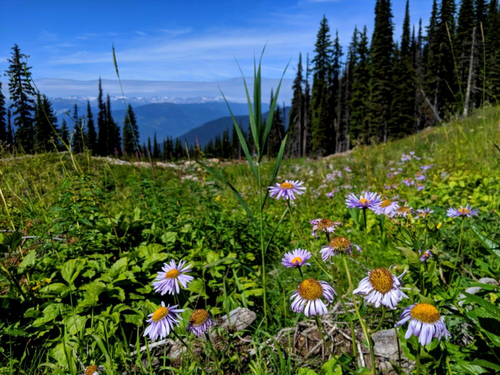 Wildflowers in front of mountain backdrop, as seen while hiking at Revelstoke Mountain Resort