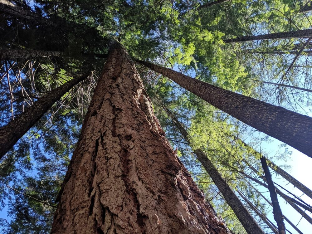 Looking up at huge Douglas Fir trees on the Sunshine Coast