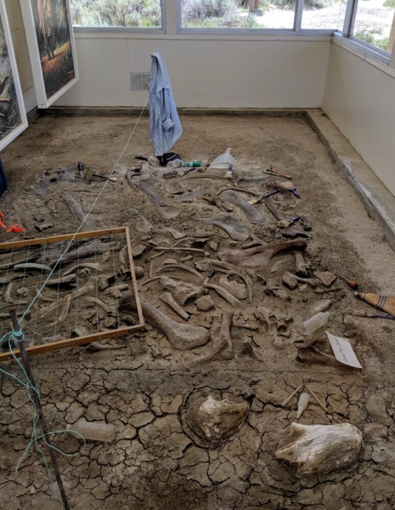 Dinosaur bones in soil in covered fossil 'house'