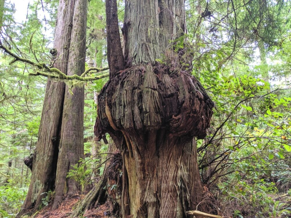 An ancient cedar tree with a huge burl in the middle of the trunk