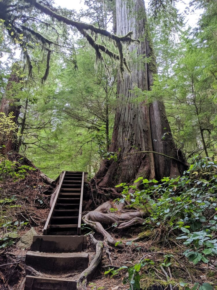 Boardwalk staircase next to huge tree in Avatar Grove, Vancouver Island
