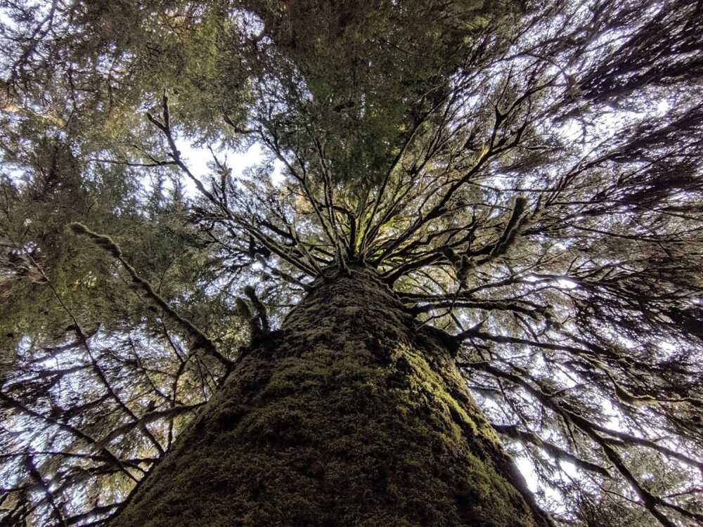 Looking up at a mossy tree on Vancouver Island