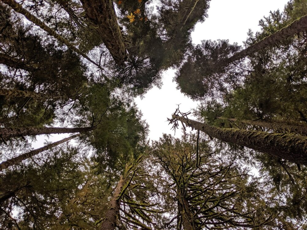 Upwards view of tall trees in old growth forest on Vancouver Island