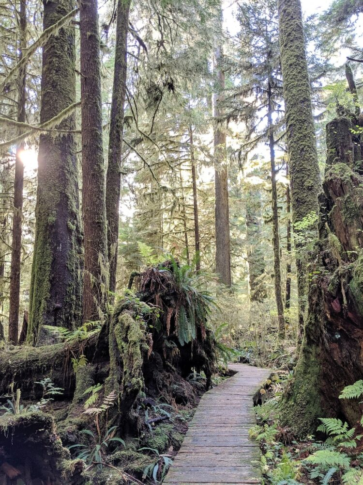 Boardwalk leading through tall trees and fallen trees, covered in moss and ferns