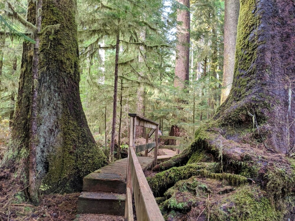 A wooden elevated boardwalk leads through the mossy forest
