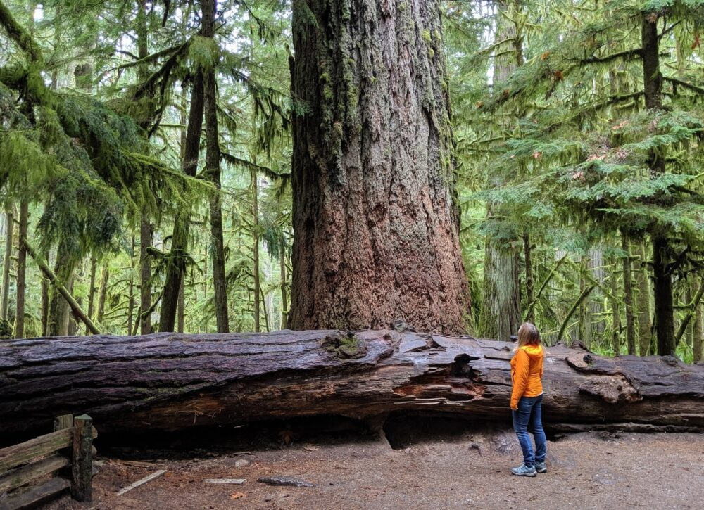 Gemma looking up at the biggest tree in Cathedral Grove