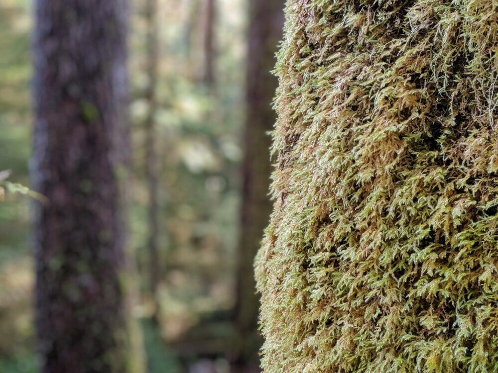 Moss on tree trunk in old growth forest on Vancouver Island