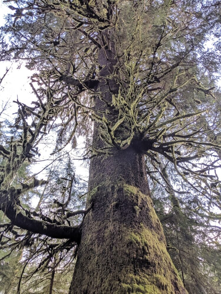 Looking up at the mossy Harris Creek Spruce tree