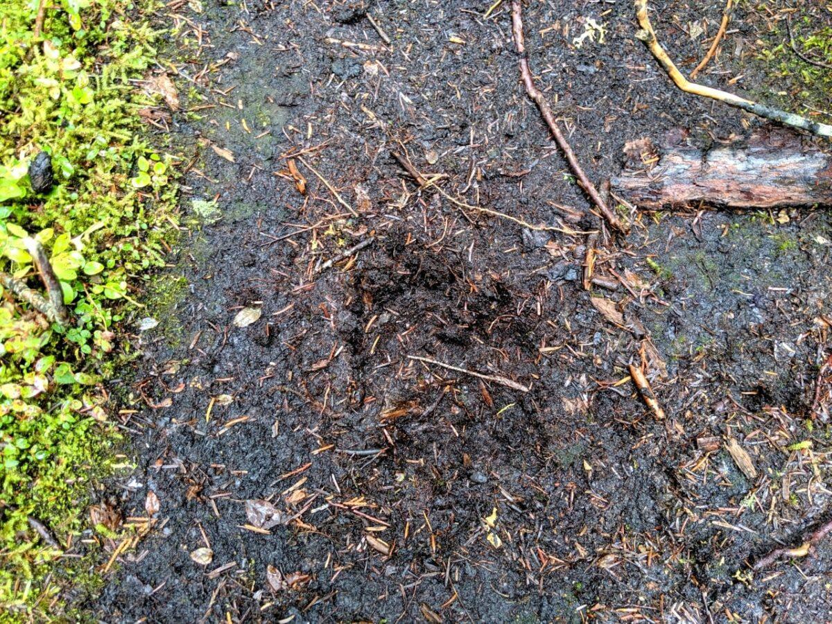 Bear track in mud
