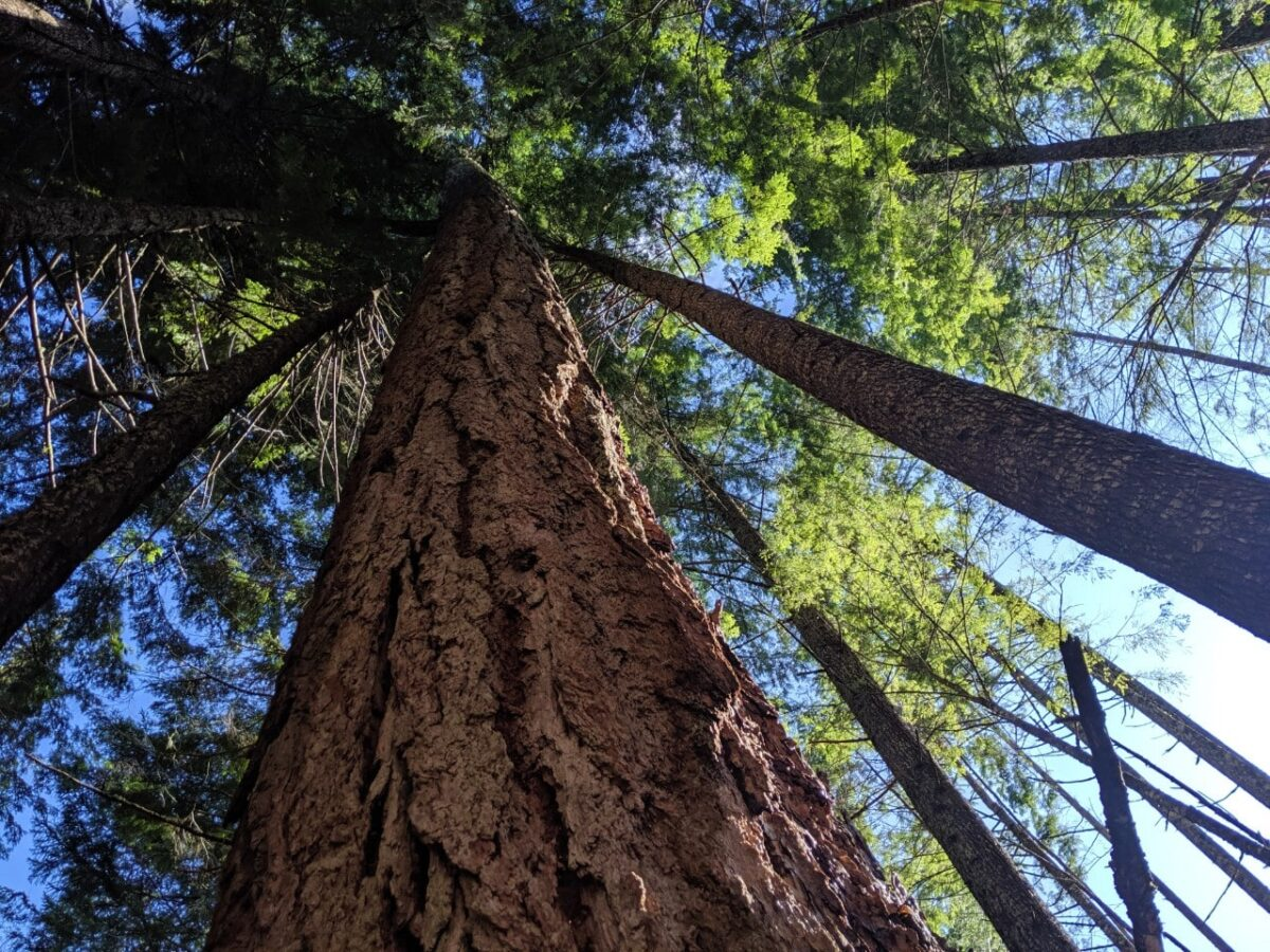 Looking up to the tops of huge trees