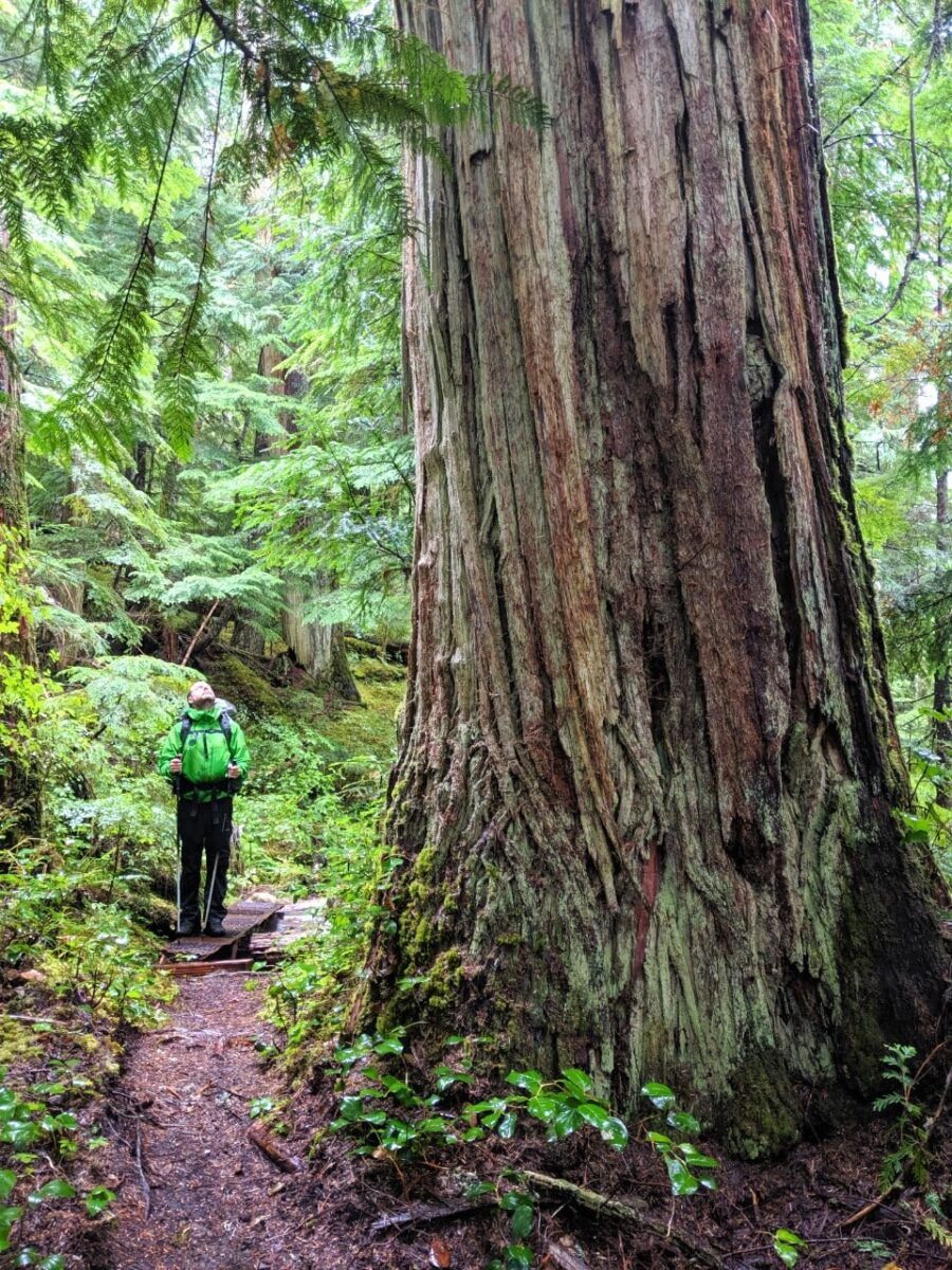 JR looking up towards a huge old growth tree on the Sunshine Coast Trail