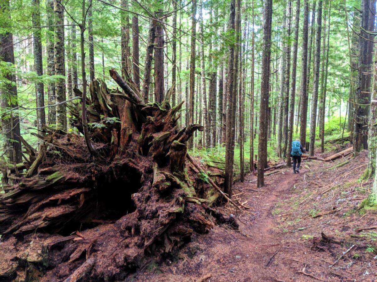 Gemma hiking past a huge fallen tree on the Sunshine Coast Trail