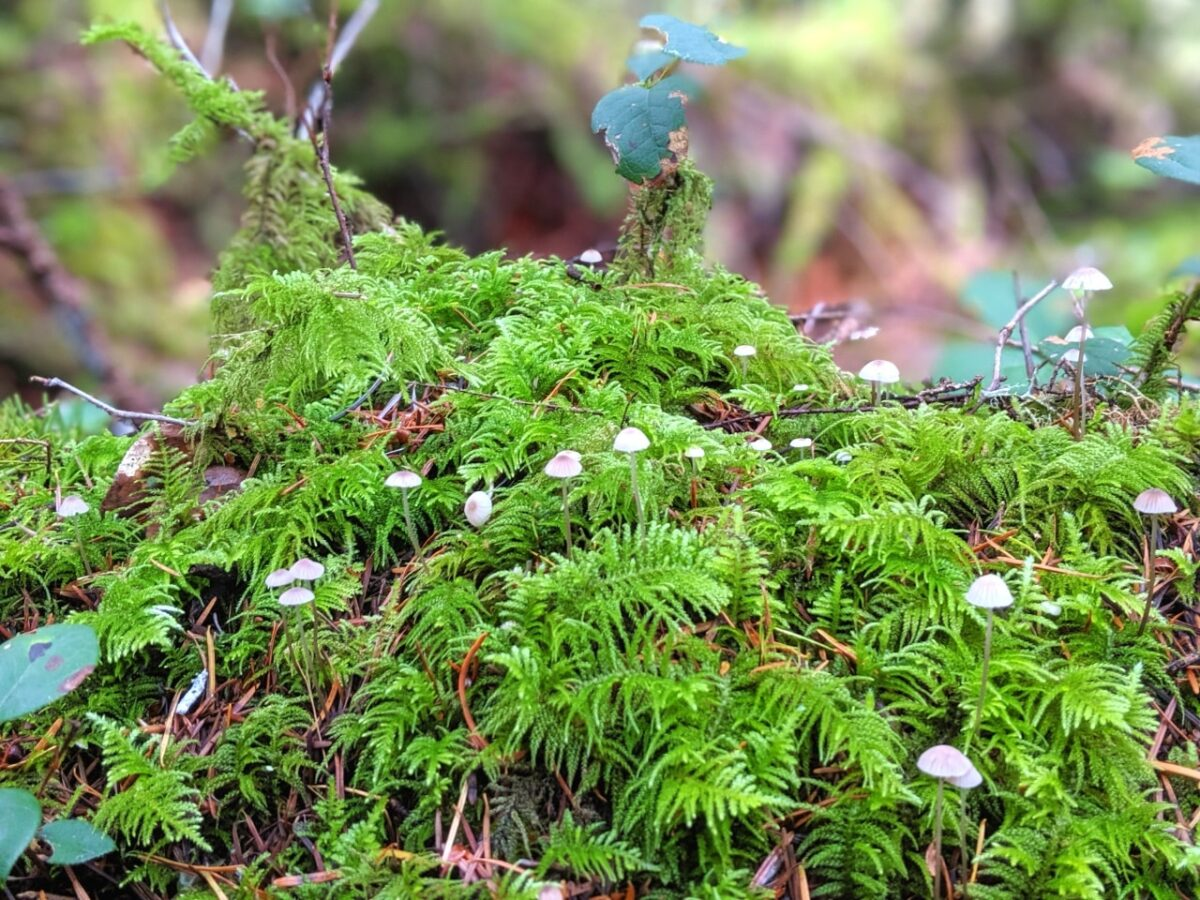 Moss with tiny mushrooms, as seen on the Sunshine Coast Trail