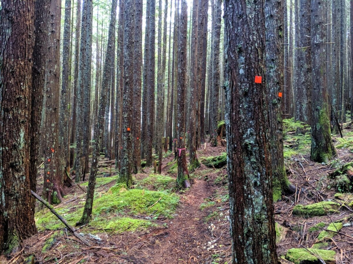Numerous trees with orange Sunshine Coast Trail markers