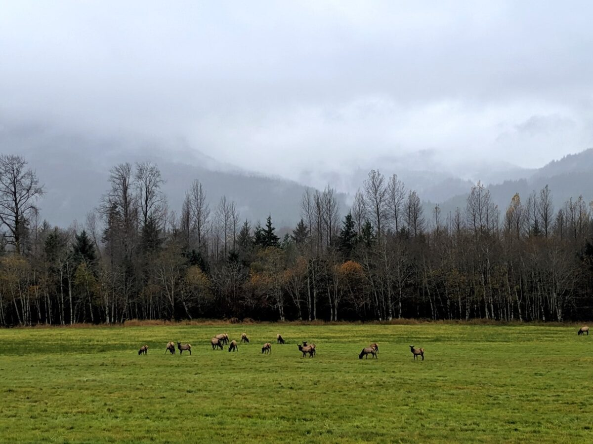 A herd of elk eats grass in a very green field near Sayward