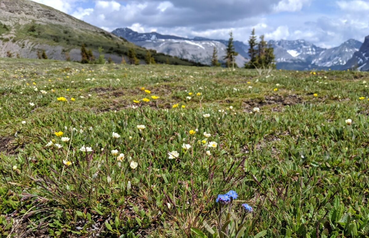 Meadows of wildflowers in Mount Assiniboine Provincial Park