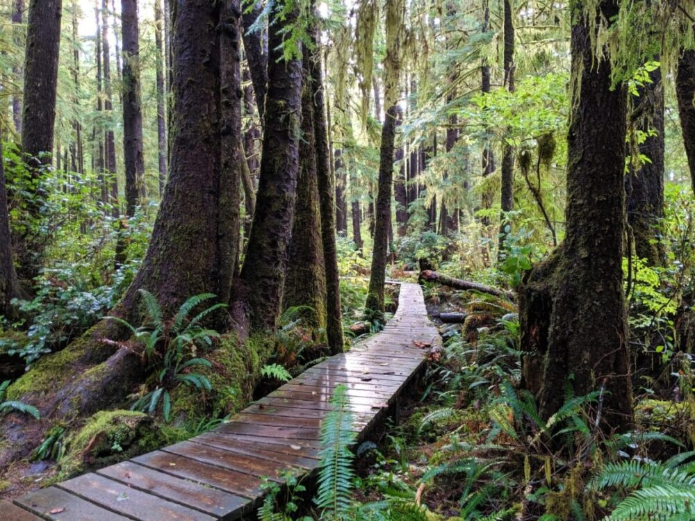 A boardwalk, shiny with rain, leads through a temperate rainforest
