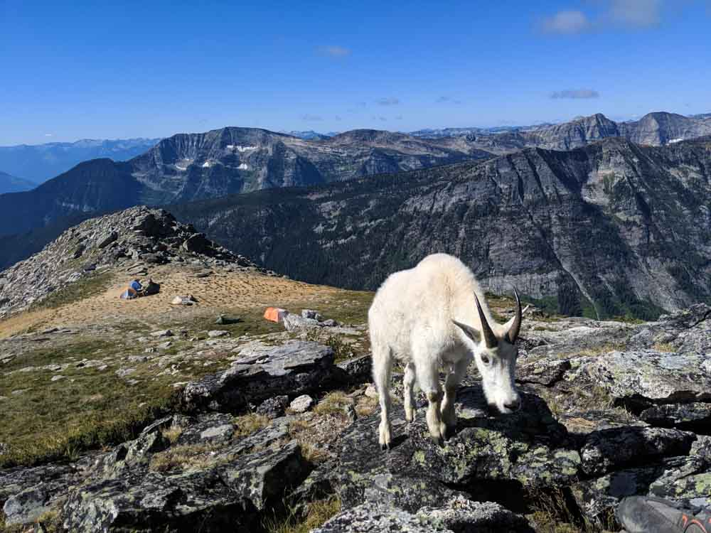 Mountain goat approaching camera with expansive views of valleys and mountains behind