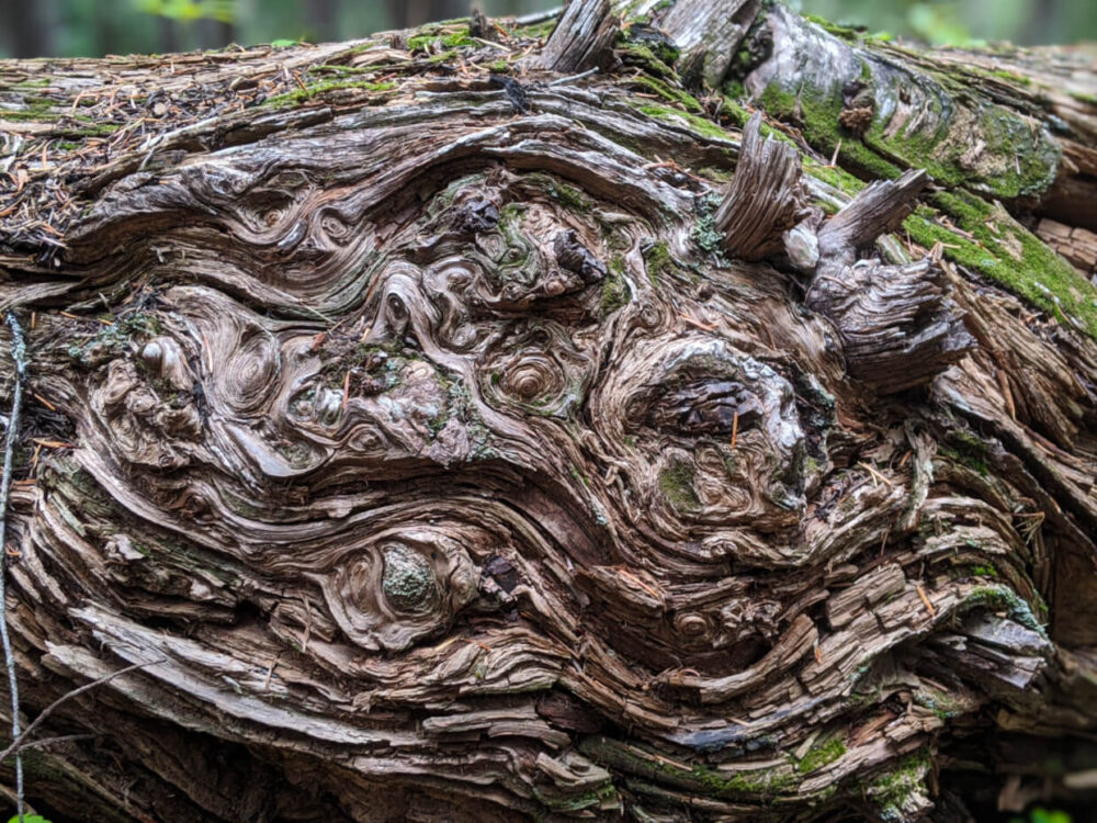 Close up of gnarled log with many knots and burls. There are spots of moss on some of the edges