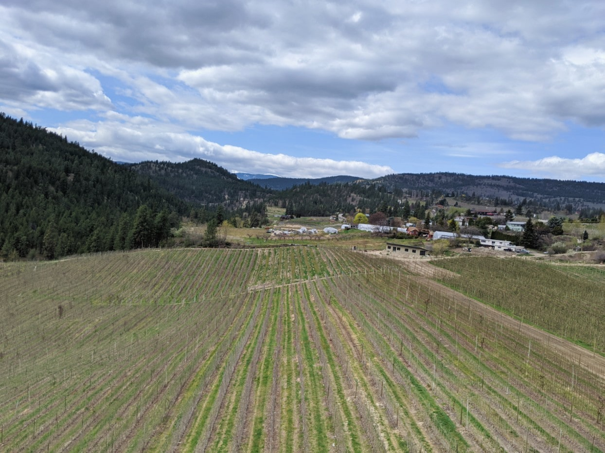 Parallel lines of vineyards in Summerland, with rolling hills behind