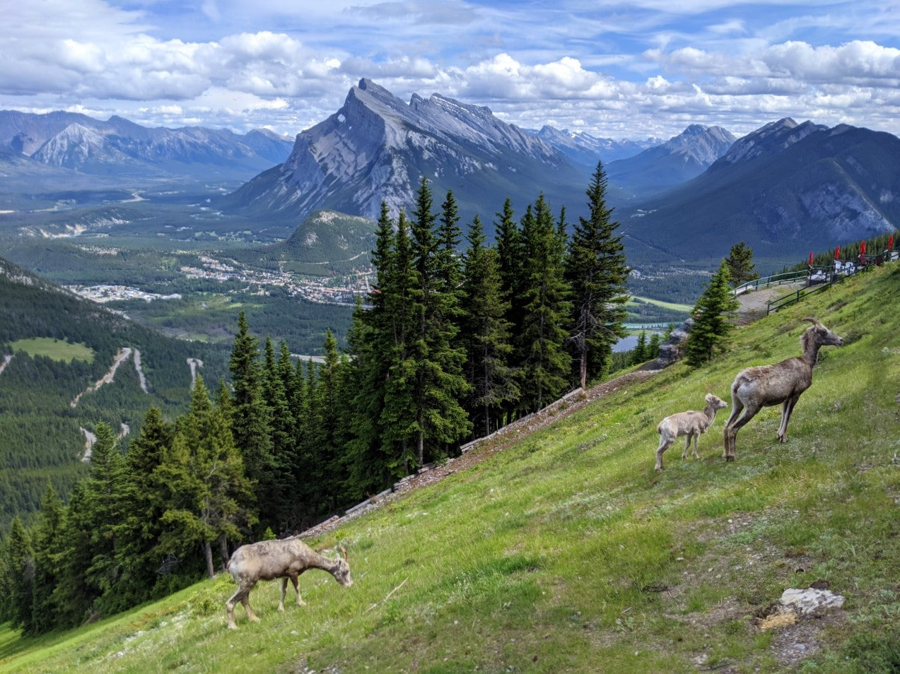 Top of chairlift views with bighorn sheep on grass, in front of mountains