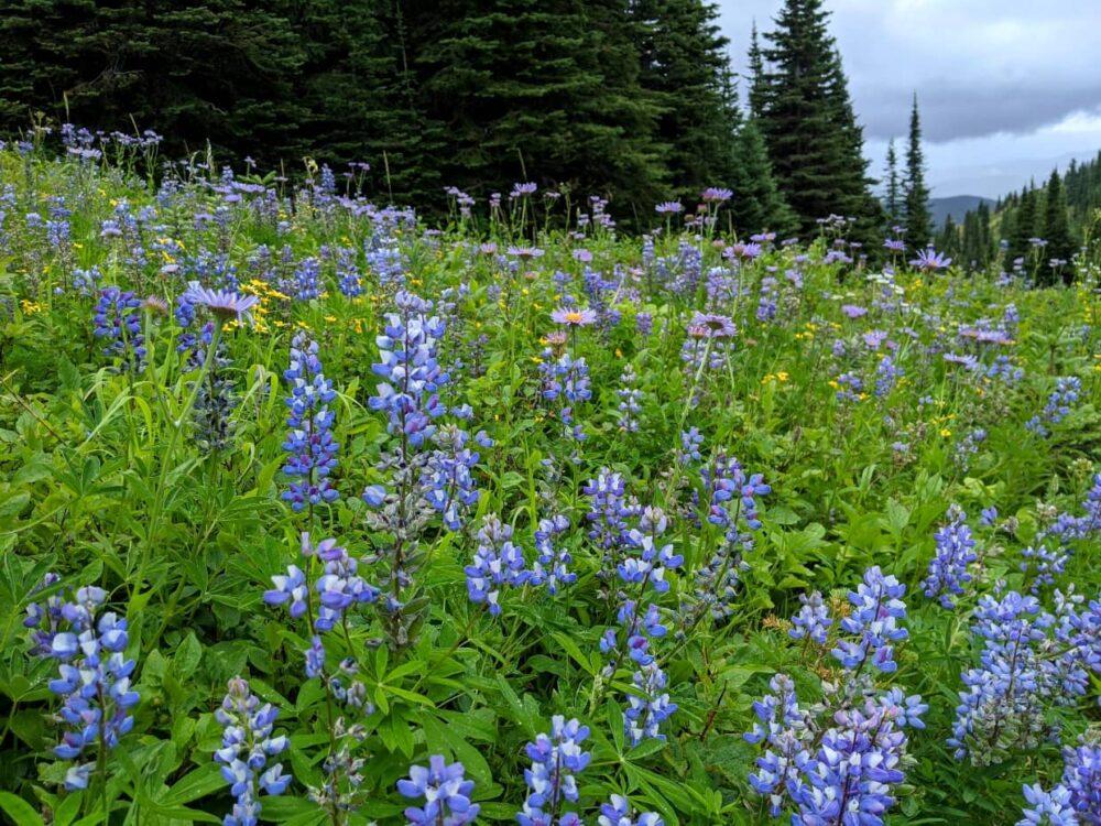 Blue lupins on Ridewalk Trail at Silver Star Ski Resort, Vernon