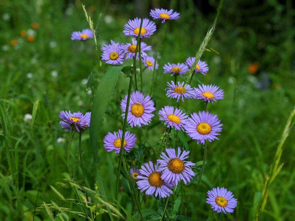 Close up of purple daisy wildflowers at Silver Star Ski Resort