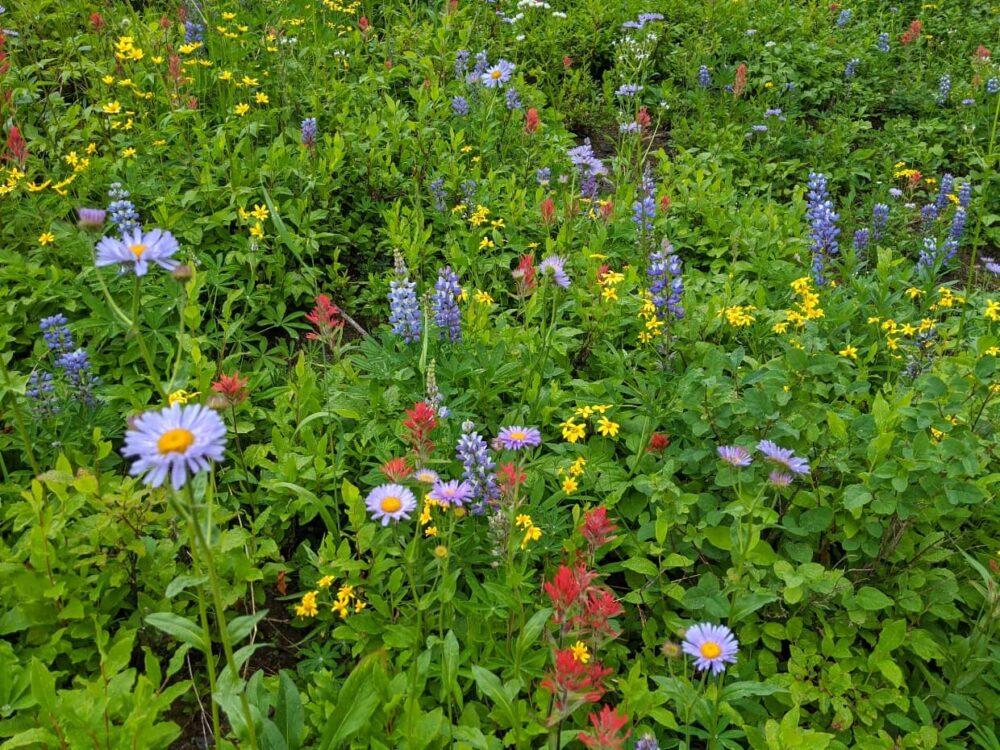 Mixture of subalpine wildflowers with purple daisies, lupins, paintbrush etc