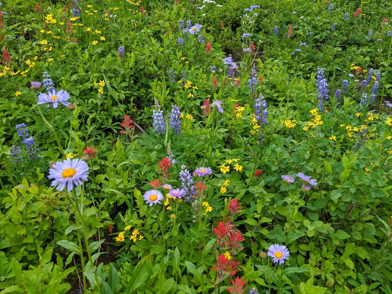 Mixture of subalpine wildflowers with purple daisies, lupins, paintbrush etc at Silver Star Ski Resort