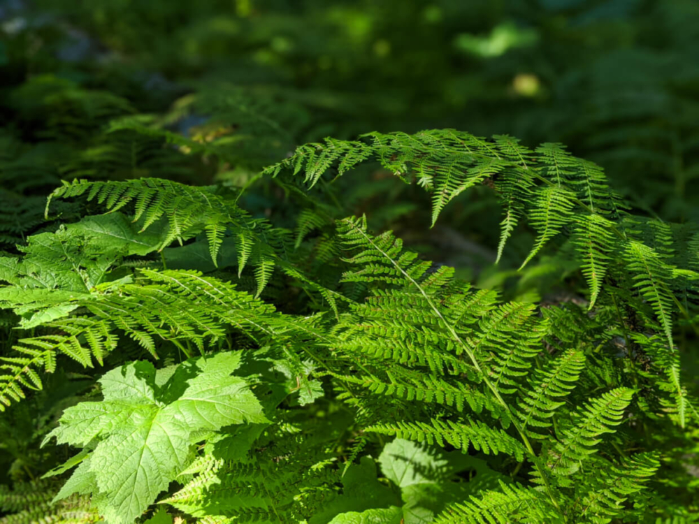 Close up of ferns on the Pinnacle Lake Trail