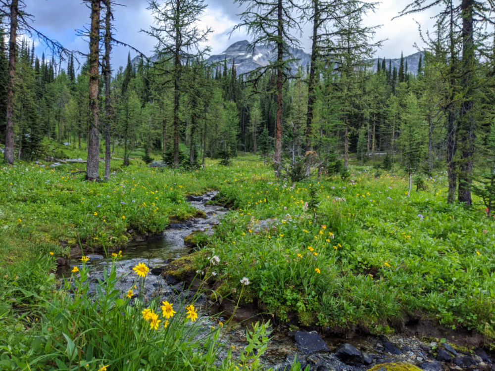 Soft green grass, wildflowers and larch trees line babbling brook on the Monica Meadows Trail