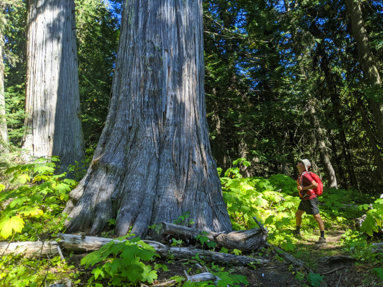 JR looking up at an old growth cedar tree on the Pinnacle Lake Trail