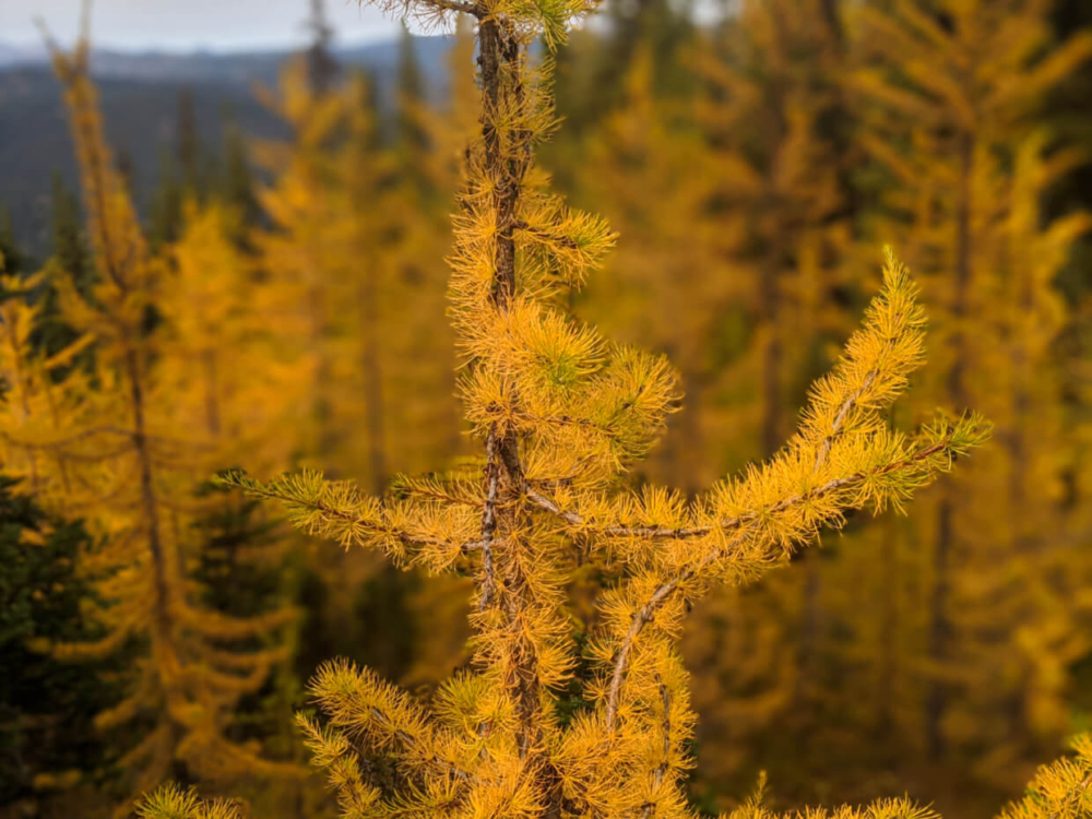 Close up of golden larch tree