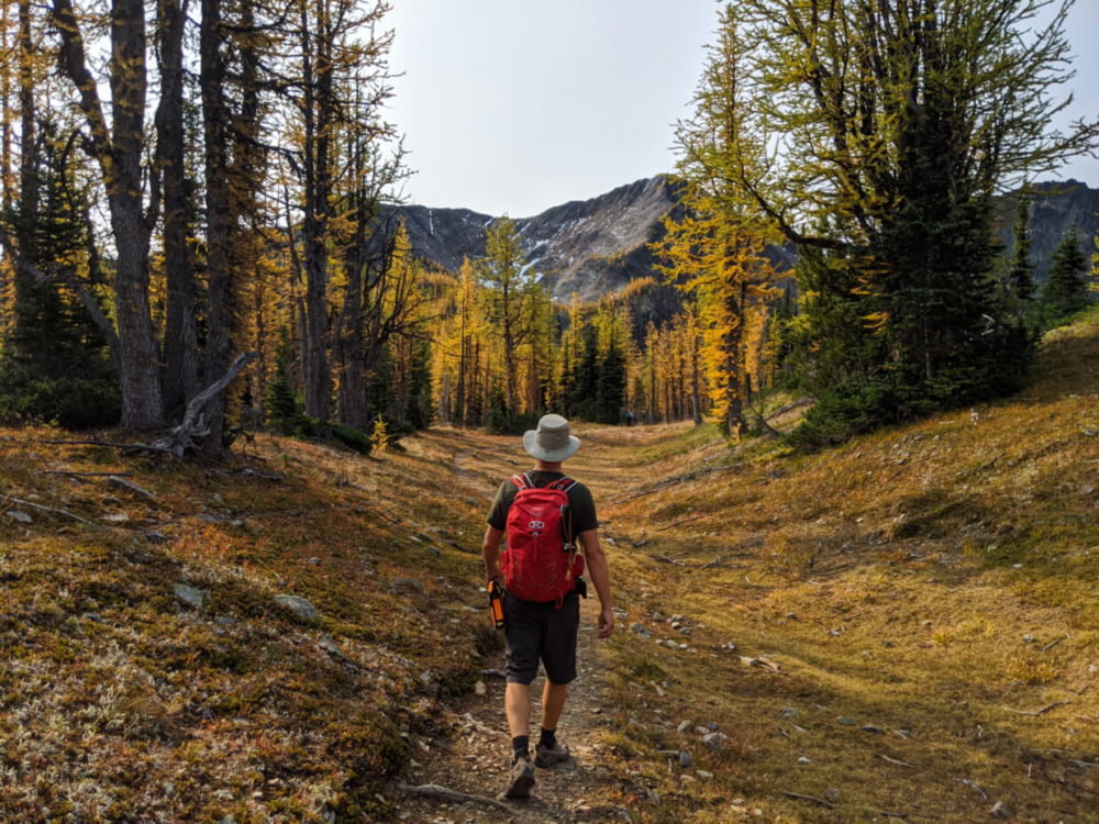 JR walking on dirt hiking path through golden larch forest with Frosty Mountain in background