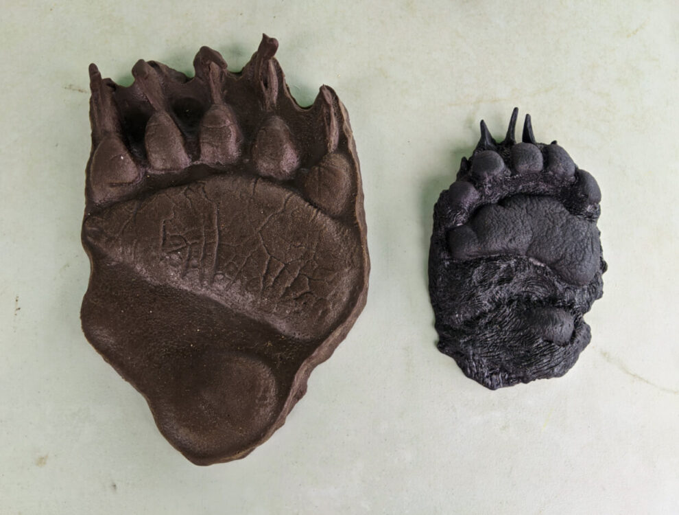 Grizzly and black bear paw print casts, side by side on table (the grizzly print is at least twice the size of the black bear print)