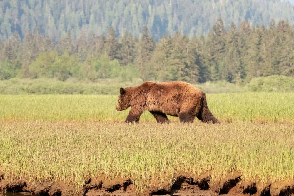 Brown grizzly bear with back to camera, walking on short grass