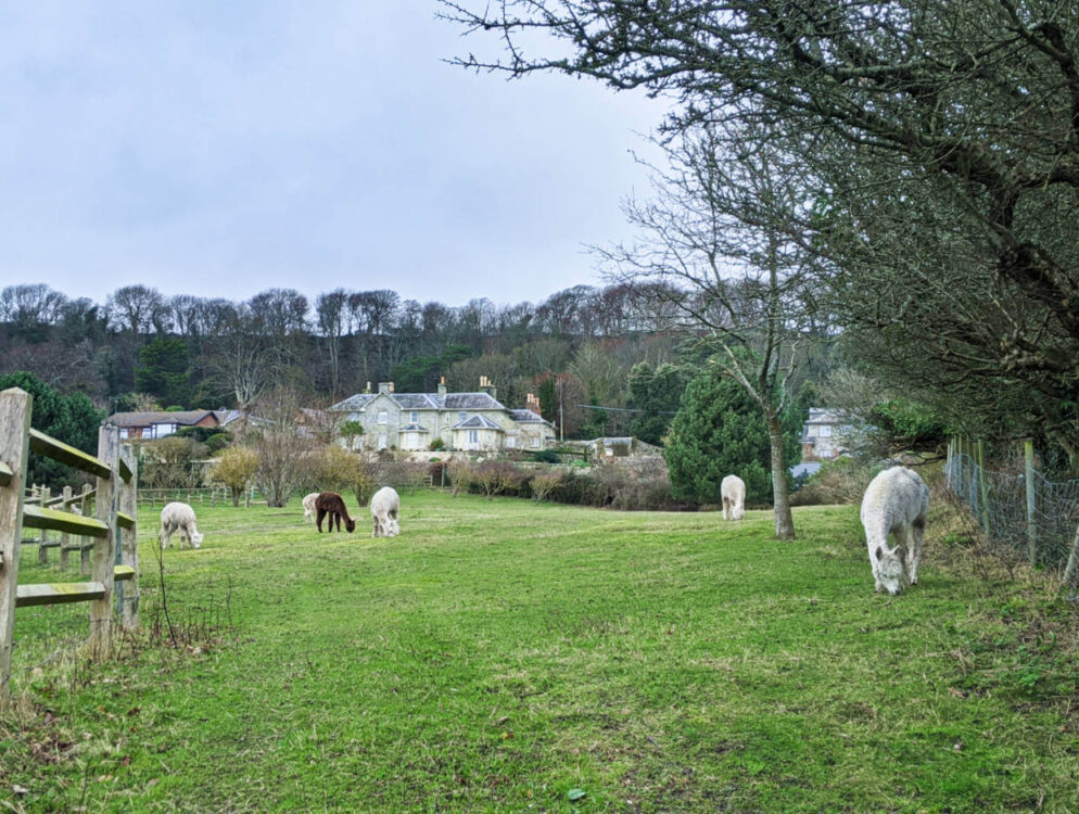 Field of alpacas along the Isle of Wight Coastal Path, with large house in the background