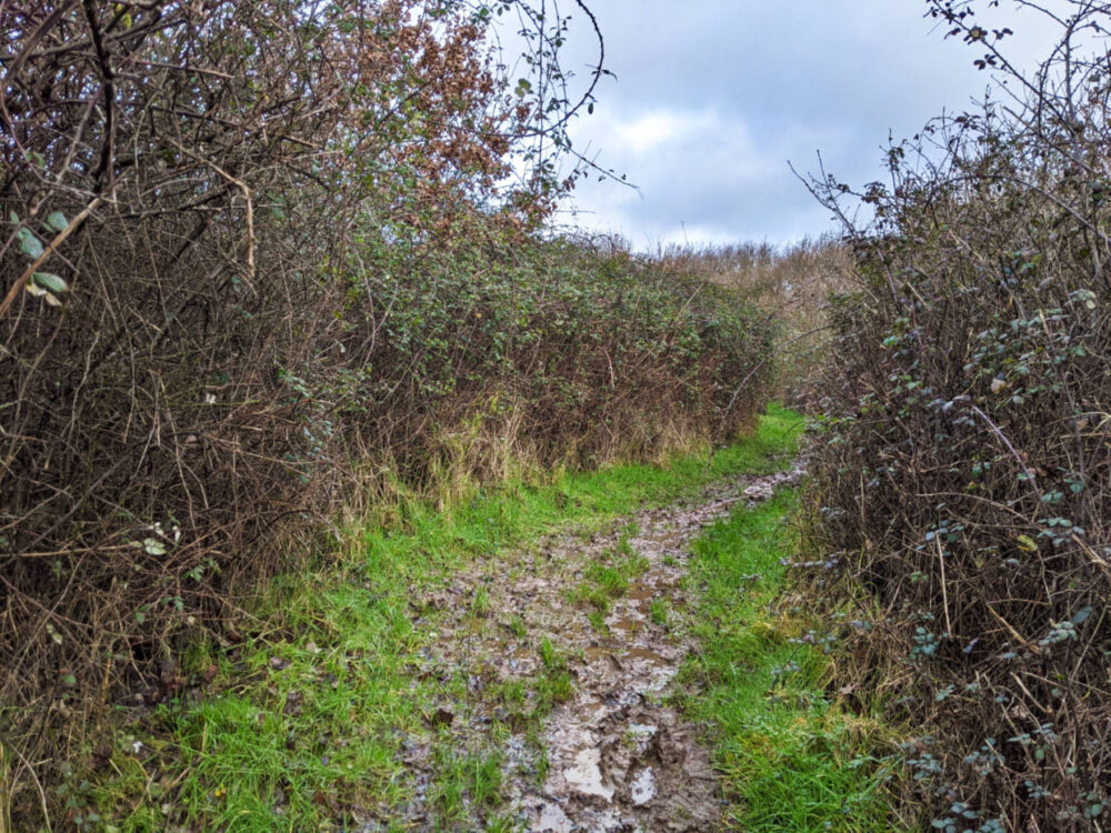 Muddy path lined with hedgerows on the Isle of Wight Coastal Path