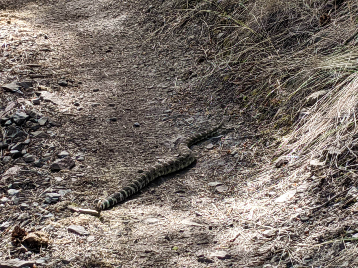Long and wide striped snake crossing dirt path