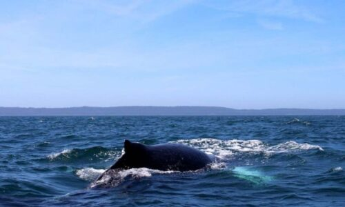 Whale Watching in Nova Scotia: Why, How, Where And More
