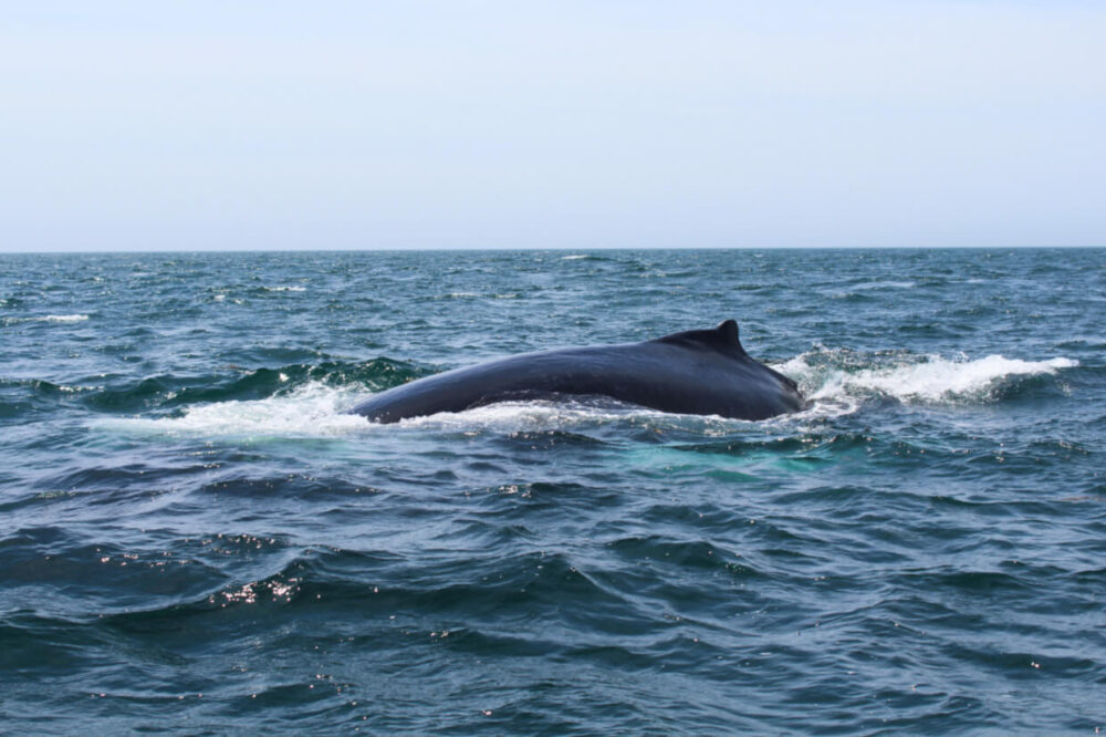 Dorsal fin and back of whale swimming towards camera in Bay of Fundy