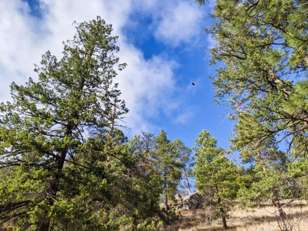 A bald eagle flies overhead on the Pincushion Mountain trail, above pine trees