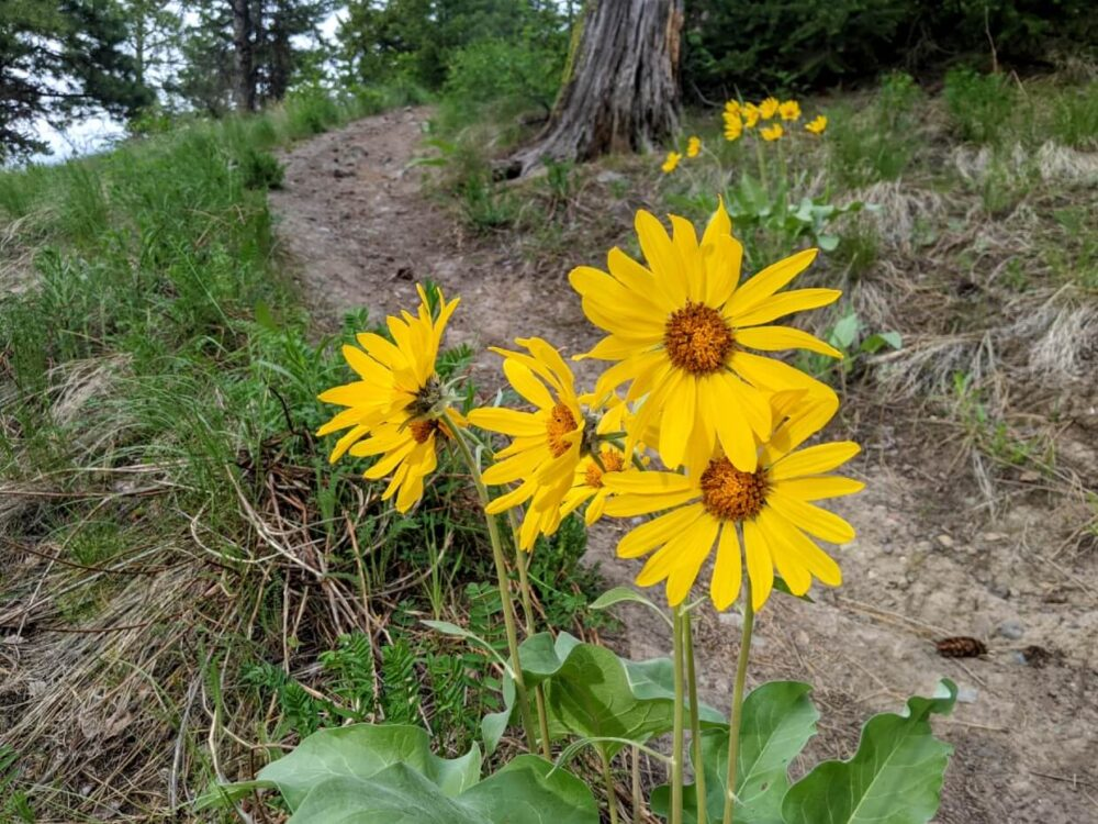 Close up of bright yellow arrowleaf balsamroot flowers on the Godey Creek Trail, one of Merritt's best hiking trails