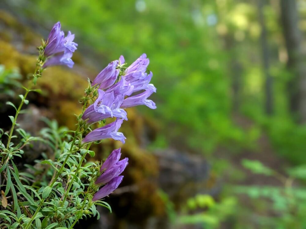 Close up of delicate, purple Davidson's penstemon wildflowers on the Enderby Cliffs Trail. The background is blurred