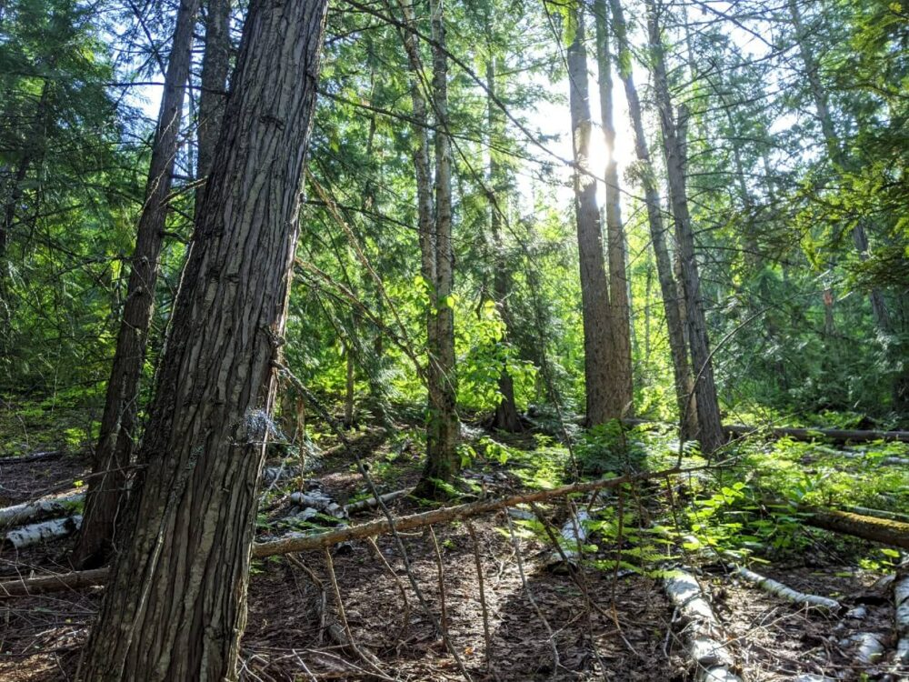Looking up at the forest surrounding the Enderby Cliffs Trail, with sunshine streaming through the branches and leaves