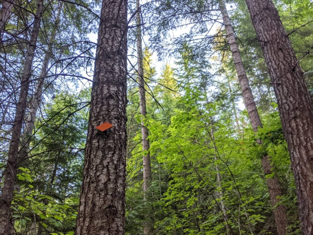Looking up at trees next to Enderby Cliffs Trail, one of which has an orange diamond shaped blaze on it