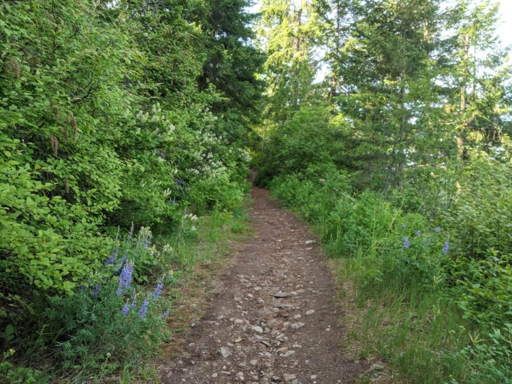 Looking up at the dirt and rock trail ahead, which is sloping upwards. Blue wildflowers line the trail, along with trees and grass