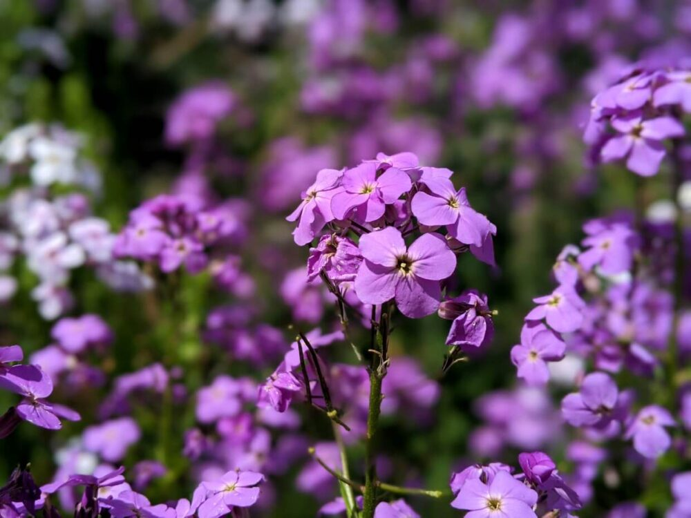 Close up of delicate purple wildflowers, the background is blurred